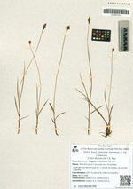 Carex duriuscula C.A. Mey.