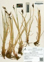 Carex erawinensis Korotk.