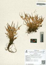 Carex eremopyroides V. Krecz.