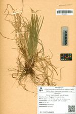 Carex erythrobasis  Lévl. & Vaniot