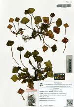 Trapa japonica Fler.