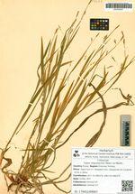 Carex oligostachys Meins. ex Maxim.