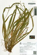 Carex egena Lévl. et Vaniot