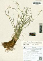 Carex eleusinoides Turcz. ex Kunth