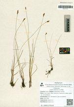 Carex enervis C.A. Mey.