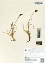 Carex ensifolia Turcz. ex V. Krecz.