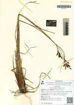 Carex gmelinii Hook. & Arn.