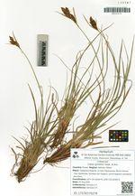 Carex gmelinii Hook. et Arn.