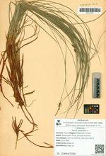 Carex globularis L.