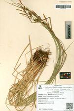Carex glauciformis Meinsh.