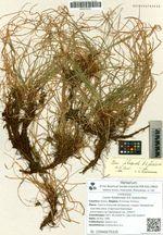 Carex foliabunda A.E. Kozhevnikov