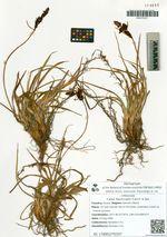 Carex flavocuspis Franch. & Sav.