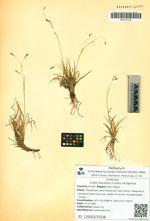 Carex fuscidula V. Krecz. ex Egorova