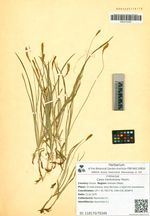 Carex hankokiana Maxim.