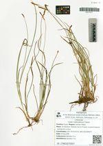 Carex hakkodensis Franch.