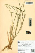 Carex forficula Franch. & Savat.