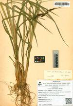 Carex heterolepis Bunge