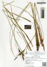 Carex kirganica Kom.