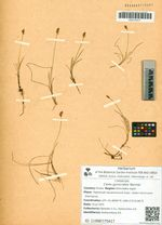 Carex gynocrates Wormsk.