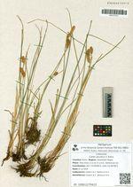 Carex jacutica V. Krecz.
