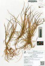 Carex jacens Clarke