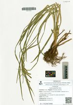 Carex jaluensis Kom.