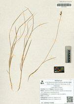 Carex iljinii V.Krecz.