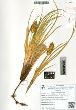 Carex kobomugi Ohwi