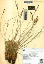 Carex koidzumiana Ohwi
