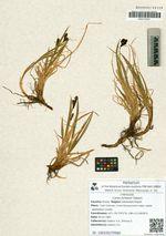 Carex jurtzevii Galanin