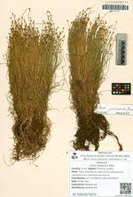 Carex chosenica Ohwi