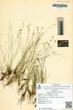 Carex jankowskii Gorodkov