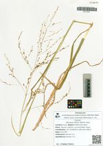 Glyceria triflora (Korsh.) Kom.