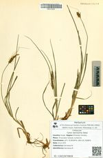 Carex laevissima Nakai