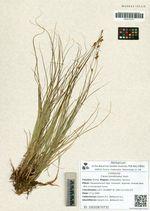 Carex korshinskyi Kom.