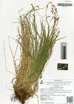Carex lanceolata Boott