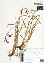 Carex krascheninnikowii (V. Krecz.) A.E. Kozhevnikov