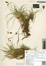 Carex krascheninnikowii Kom. ex V. Krecz.
