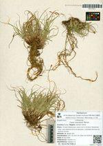 Carex ktausipali Meinsh.