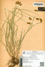 Carex leporina L. subsp. korjakensis Galanin