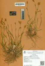 Carex laxa Wahlenb.