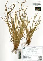 Carex latisguamea Kom.