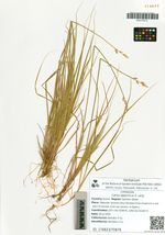 Carex lapponica O. Lang
