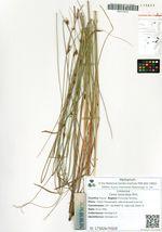 Carex lasiocarpa Ehrh.