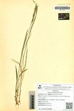 Carex latisquamea Kom.