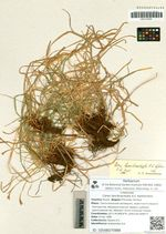 Carex lancibracteata A.E. Kozhevnikov