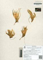Carex lanceolata Boott  f. paradoxa Galanin