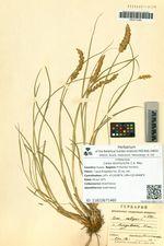 Carex leiorhyncha C.A. Mey.