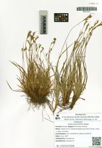 Carex leucochlora Bunge