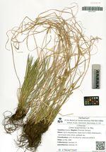 Carex longirostrata C.A. Mey.